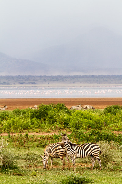 Zebras at Lake Manyara National Park - East Africa - Tanzania