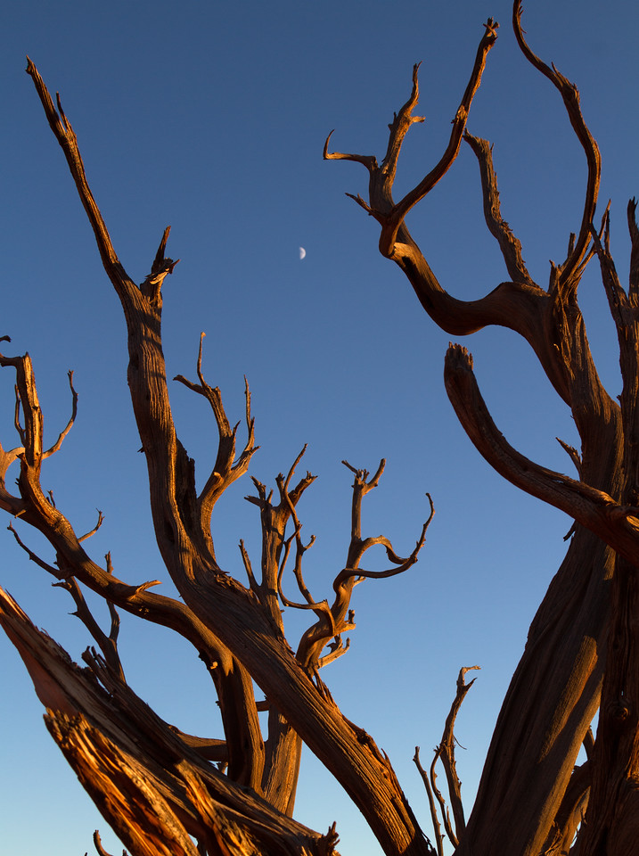 The moon is see between scragged branches of an old Juniper Tree in Canyonlands National Park, Utah, USA