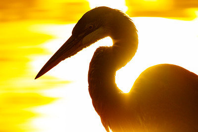 A Great Blue Heron is silhouetted against the morning sun reflected off of a body of water