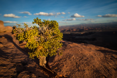 A small but growing juniper tree takes root in the most unlikely of places. Here the tree enjoys an excellent view of Canyonlands National Park and the Green River below at sunset.