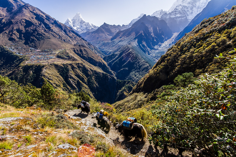 Yaks On Trail Pass Before Phortse And Ama Dablam, Nepal, Asia
