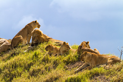 Wild Lions (Panthera leo) On A Knoll, Serengeti National Park, Tanzania