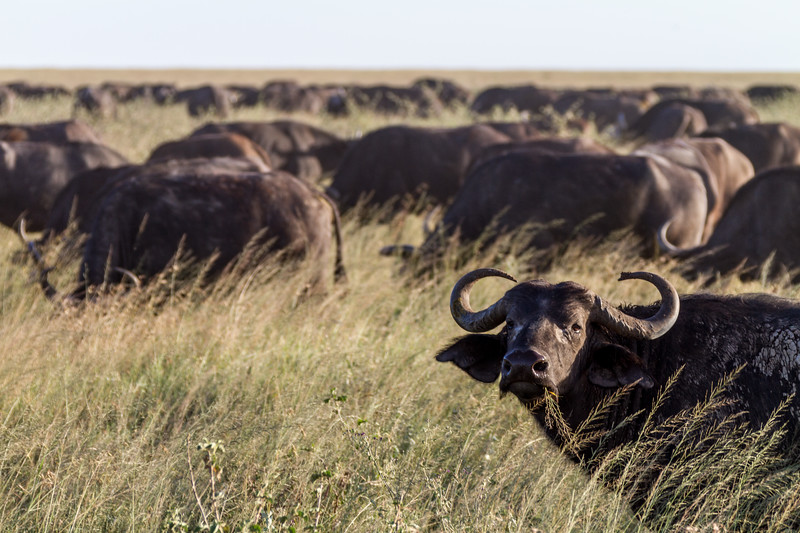 Buffaloes in national park - East Africa - Tanzania