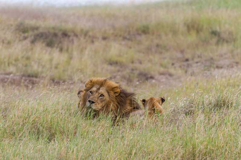 Lions relaxing on grass - East Africa - Tanzania