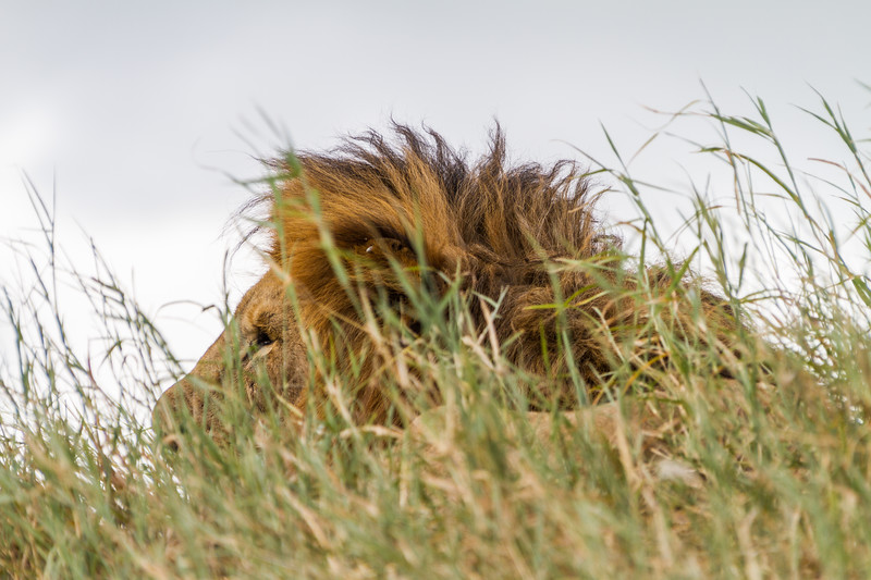 Close-up of lion - East Africa - Tanzania