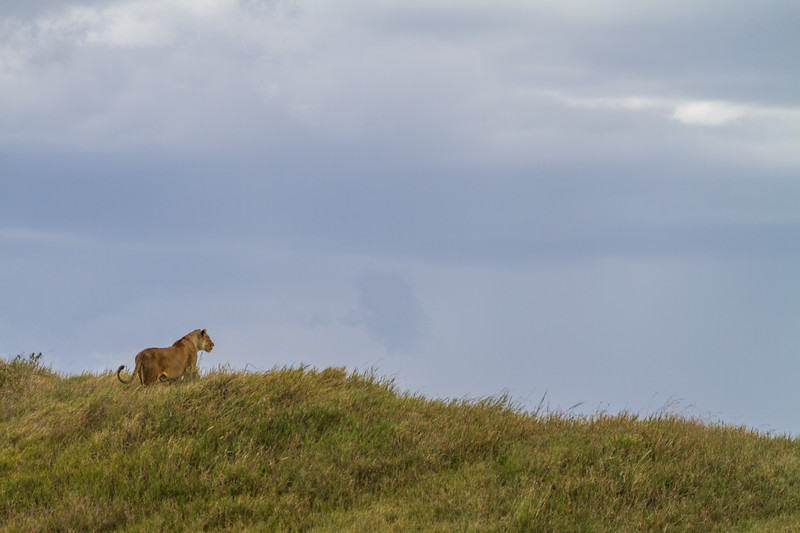 Lioness walking on hill - East Africa - Tanzania
