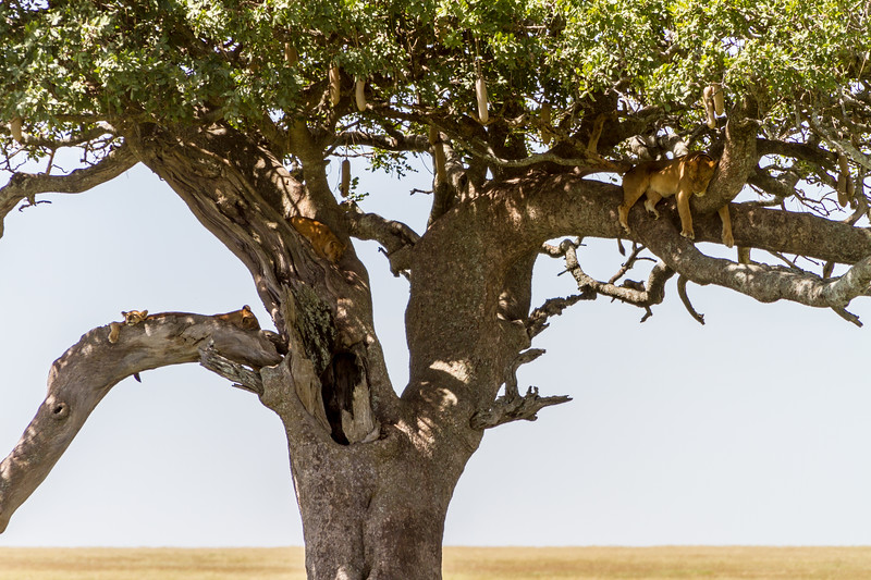 Lions relaxing on tree - East Africa - Tanzania