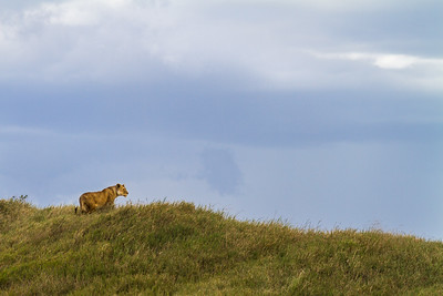 Lioness (Panthera leo) Surveying The Savanna, Serengeti National Park, Tanzania