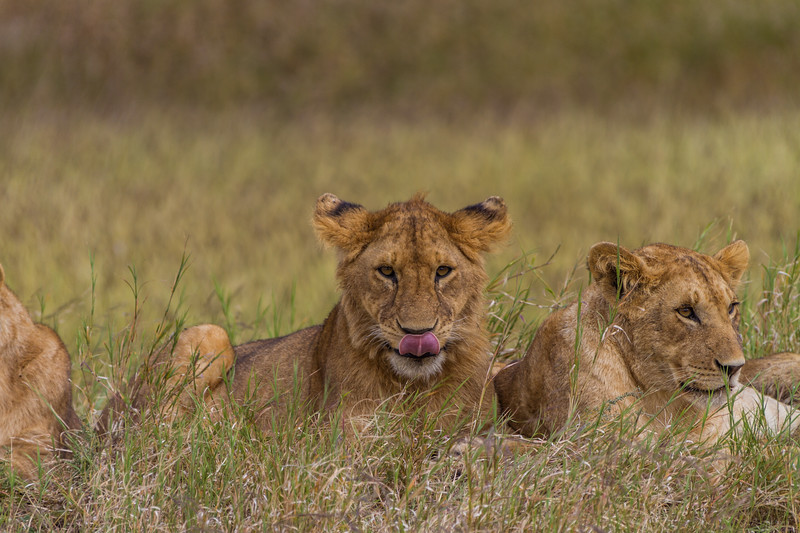 Lioness relaxing on grass - East Africa - Tanzania