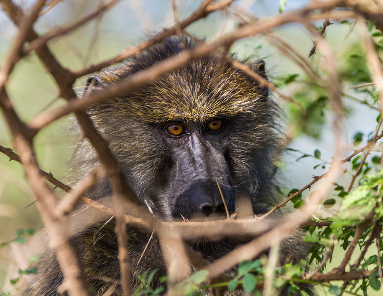 Close-up of monkey - East Africa - Tanzania