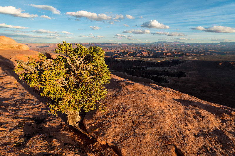A single juniper tree grows in a crack of sandstone above the canyons of Canyonlands National Park - Utah - USA