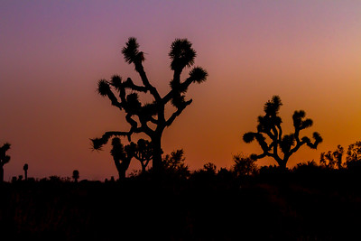 Cactus at Joshua Tree National Park - USA - California