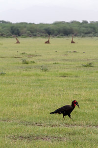Southern Ground-Hornbill perching on grass - East Africa - Tanzania