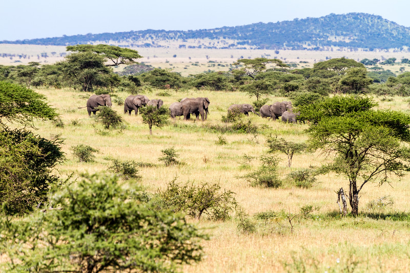 Elephants walking in national park - East Africa - Tanzania