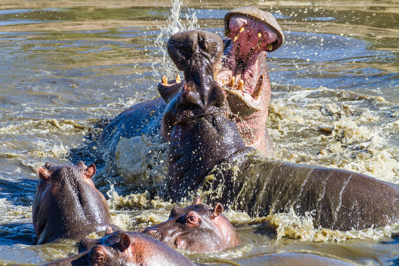 Hippopotamuses fighting in river - East Africa - Tanzania