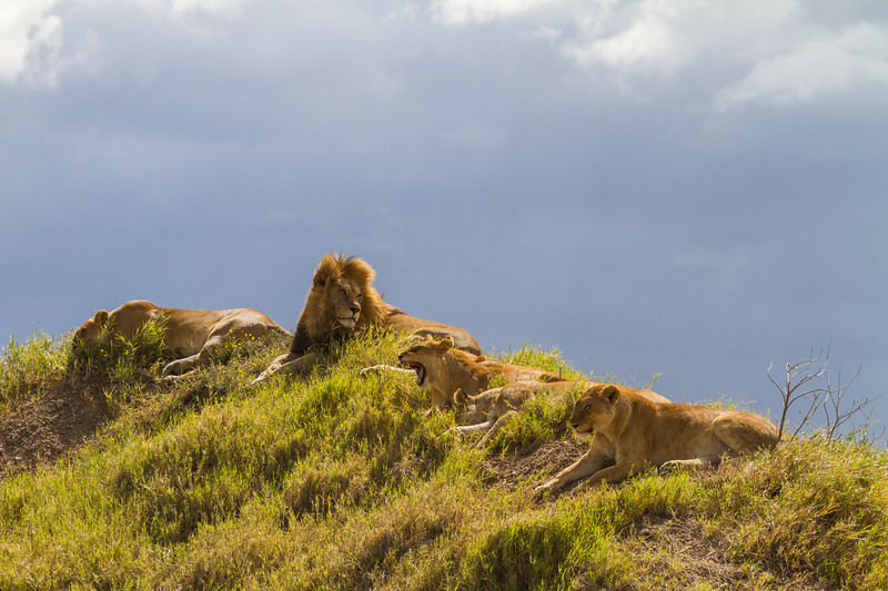 Lions relaxing on hill - East Africa - Tanzania