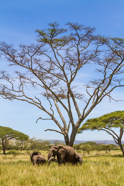 Elephants in national park - East Africa - Tanzania