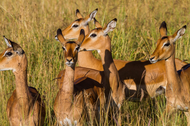 Deers standing on grass - East Africa - Tanzania