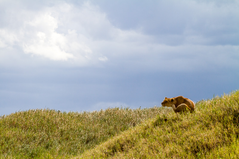 Lioness standing on grassy hill - East Africa - Tanzania