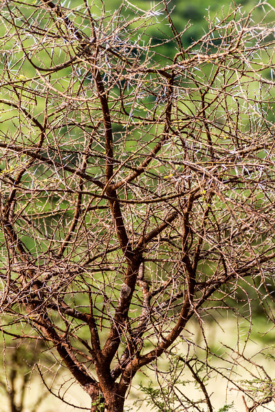 Close-up of Acacia Tree - East Africa - Tanzania