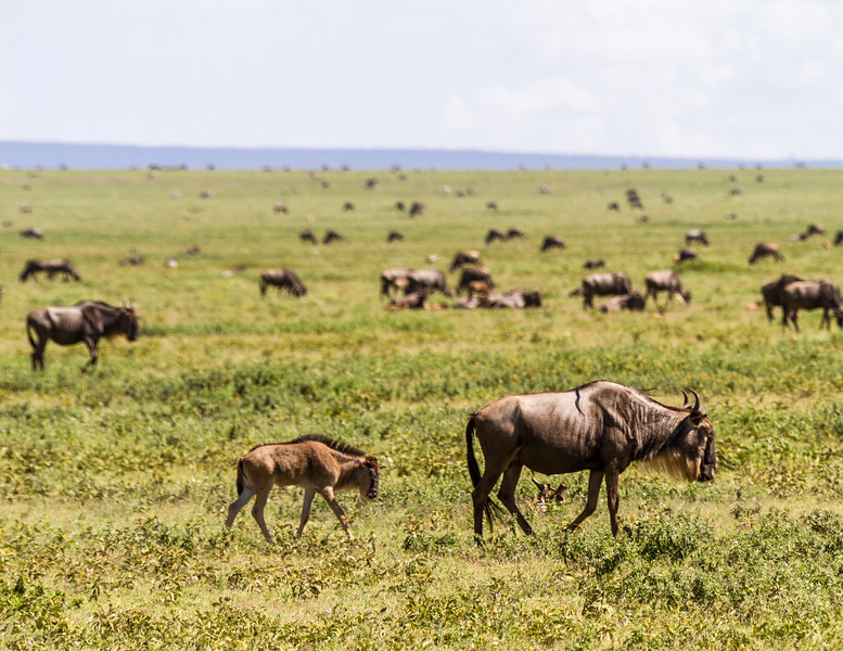 Wildebeests at Serengeti National Park - East Africa - Tanzania