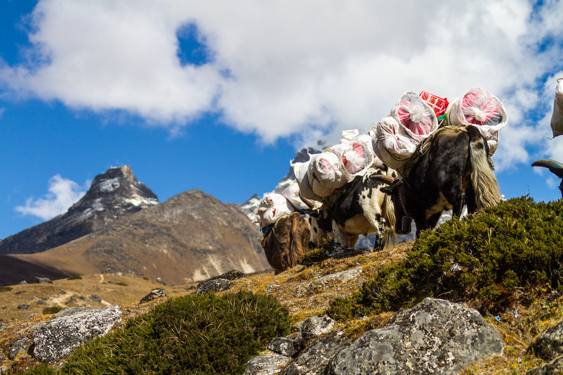Yaks carrying burden near Mt Everest National Park - Nepal