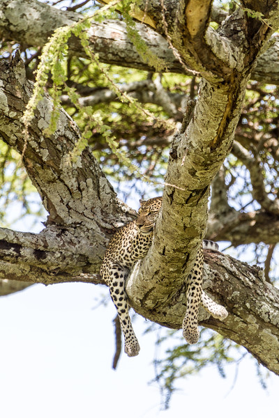Cheetah relaxing on tree - East Africa - Tanzania