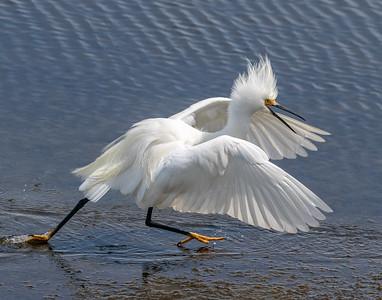 Snowy Egret Running