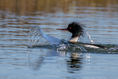 Male Red-breasted Merganser Making Wave