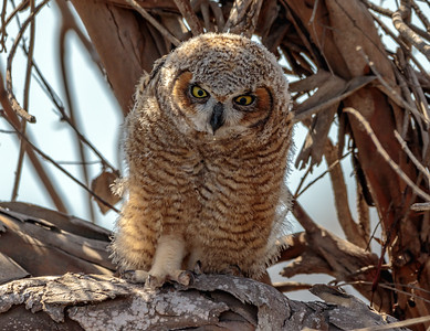 Great Horned Owlet Stomping Foot