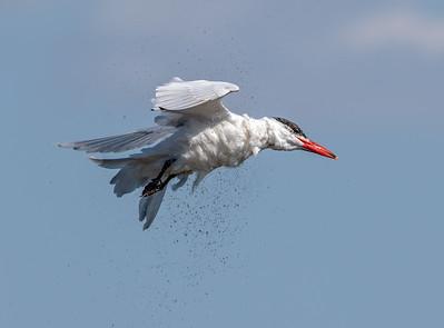Caspian Tern in Flight Shaking off Water