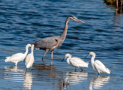 Great Blue heron with Snowy Egrets