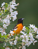 Northern Oriole, Wisconsin, North America,