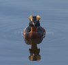 Horned Grebe swimming on pond, North America