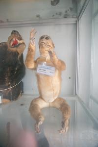 Macaca mulatta (Rhesus Monkey)