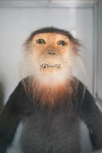 Monkey see. (Langur, Pygathrix)