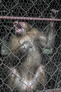"Caged Macaque in ""Rehabilitation Center"""