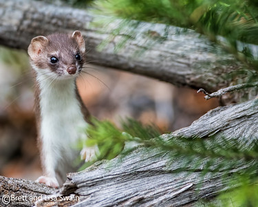 Short-tailed Weasel on the Lookout