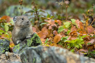 Pika and Fall Foliage
