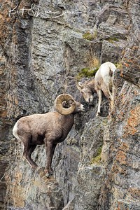 """On The Pinnacle"" bighorn ram and ewe"