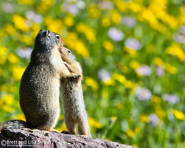 Family Affection-Columbian Ground Squirrels