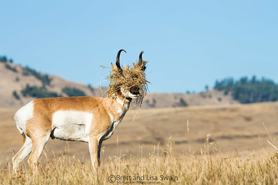Pronghorn Headgear