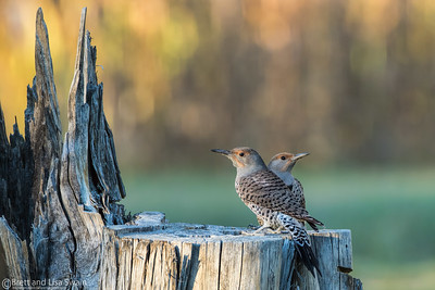 Northern Flicker Juxtapose