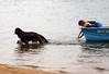 Ellie and her owner John make a wonderful working team! They have quickly learned the Newfoundland Club of America junior and senior levels of water training. Ellie has successfully completed all the exercises to earn a Water Dog and Water Rescue Dog title. <br /> <br /> This picture shows Ellie on the 'Tow a Boat' exercise. Good job, Ellie!