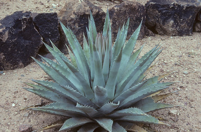 Agave (incl. subg. Manfreda)