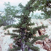 Pachypodium lealii between quartz rocks:  A small plant about 1.50 m high with numerous, densely leafed lateral shoots