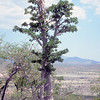 A large plant of Pachypodium lealii Welw. about 6 m tall, on a hilltop at Oruwanje. The  Mopane woodland in the plains is thinned out by grazing. At the horizon the surrounding mountains