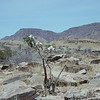 Adenium boehmianum occurs in Namibia and the Angolan part of the Kaokoland Centre of Endemism.<br /> Despite containing a poisonous milk sap, the shoots and leaves are eaten by some animals. The branches on the right hand side were apparently grazed and devoid of leaves.