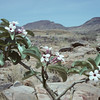 Adenium boehmianum is easily recognized by its broad, leathery leaves folded along the midrib, and its pink flowers with a darker throat