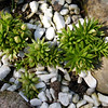 Rhodiola coccinea new growth in spring